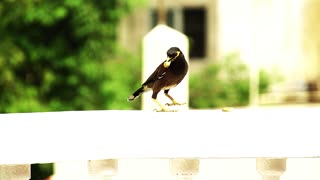Beautiful Of Common Myna Eating Good Day Biscuit
