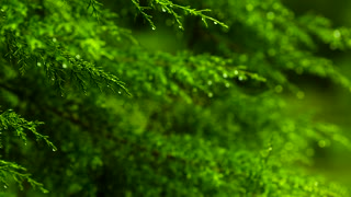 Focus Shift Green Tree Leaf Early Morning Rain Drops Falling