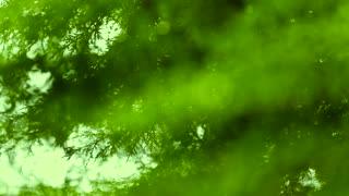 Focus Shift Of Tree Leaf Early Morning Rain Drops Falling