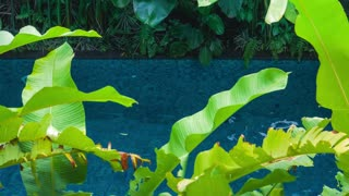 Beautiful young blond girl in black bathing suit floating in the pool. Green banana leaves plants moving and cover the view. Enjoing vacation