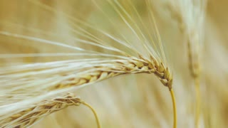 Close-up of two Ripe Wheat Straws Waving in Wind