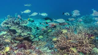 Colorful reef fish swimming above a coral reef in Raja Ampat, Indonesia. Region with the highest marine biodiversity in the world. Best spot for divers and snorkelers