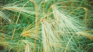Dry Golden Wheat Ears in Wind, Close Up, with Green Grass on Background