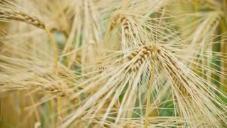 Dry Golden Wheat Ears in Wind, Close Up