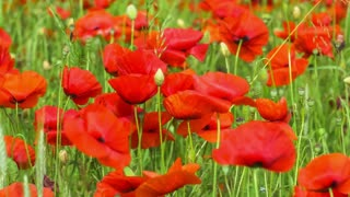 Field of Blossoming Poppies, Some Movement by Wind
