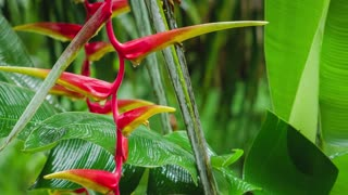 Flower of Red Heliconia in rainy drops. Starting of wet season. Lush green plants foliage in background