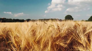 Golden ripe ears of wheat against the blue sky with white clouds. Full HD 1080p Slowmo slow motion