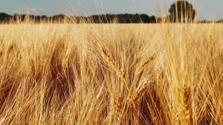 Golden ripe ears of wheat in agricultural field on bright day lights. Slowmo slow motion
