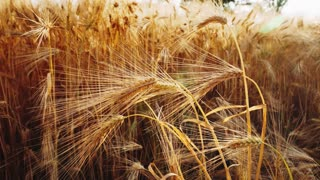 Golden ripe ears of wheat in agricultural field. Slowmo slow motion