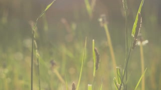 grass straws moving in slight wind in sun light, flares, close up, green blurred background, evening, 4K 3840 x 2160 ultra high definition footage, warm color
