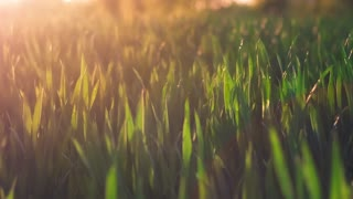 Jung wheat stems moving by the wind in warm spring evening sunset light flares. Shallow depth of field close up