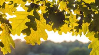 Oak tree leaves close up. Sun light rays shining through the foliage. pen moving
