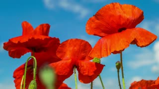 Poppy Flower Field and Blue Sky Nature Background