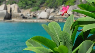 Red frangipani plumeria flower wiggle by the ocean breeze. Rippled turquoise blue ocean surface in background.