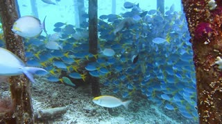 School of yellow tail fusilier, Caesio cuning, swimming around the pier pole, Raja Ampat, Indonesia