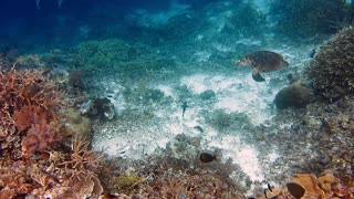 Sea Turtle swimming over coral reef. Hawksbill Turtle