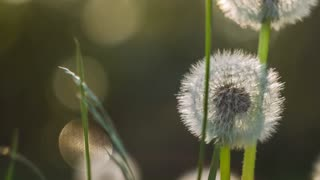 Seed head of dandelion in nature slightly moved by the wind, sunlight flares flickering in background, nice round bokeh, close up