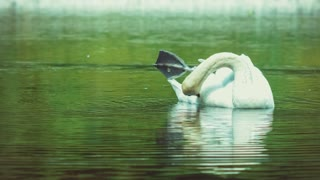single white swan cleanes his feather, plumage, dark water of lake reflection