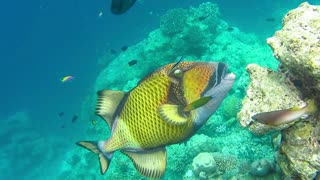 Titan triggerfish feeding from coral reef, underwater at Maledives