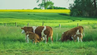 Two beautiful brown calves trinking cow milk, yellow rape fileds with tree on background
