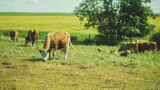 White and Brown Cows Pasture on Green Field, Yellow Fielld and Tree on Background