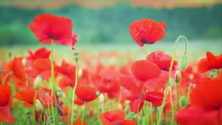 Wild Red Poppy Flowers on Field, Trees on Background