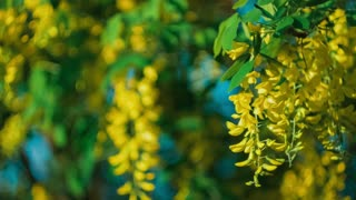 Yellow acacia blossom branch, wind moving the hanging flowers, under evening sunlight