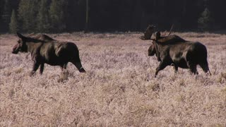 Bull Moose following cow during the rut