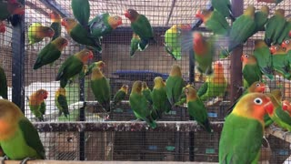 Fisher Parrot Colony - Young Love Birds in a large number