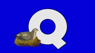 Letter Q and Quail (foreground)	Animated animal alphabet. Motion graphic with chroma key. Animal in a foreground of a letter.