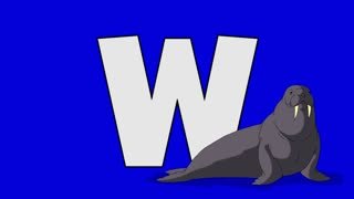 Letter W and  Walrus  (foreground)	Animated animal alphabet. Motion graphic with chroma key. Animal in a foreground of a letter.