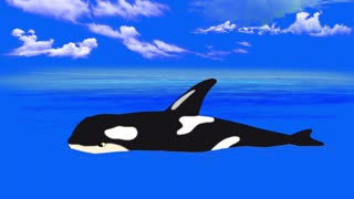 Killer Whale in  the Water