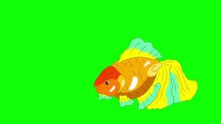 Multicolored Goldfish Floating in Aquarium Chroma Key