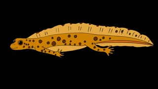 Yellow Newt Swimming