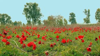 Cinemagraph of field of red anemones. One flower swaying in the wind