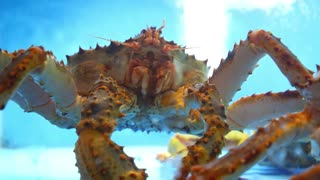 Alive King Crab in Water Closeup