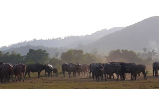 Animal Bull Livestock Feeding in a Rural Environment.