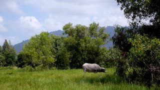 Asia Buffalo in Country Field with Green Grass