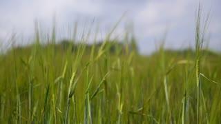 Beautiful Nature of Bali - Ubud Green Rice Field