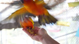 Beautiful Parrots Eating Food from Hand Close Up