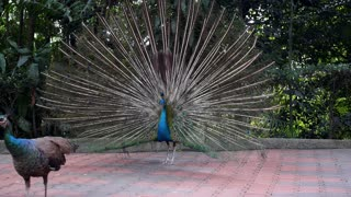 Beautiful Peacock Outdoors