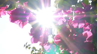 Beautiful Pink Flowers in Garden in Sun Rays. Slow Motion.