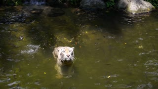 Beautiful White Tiger Catching Red Meat for Lunch