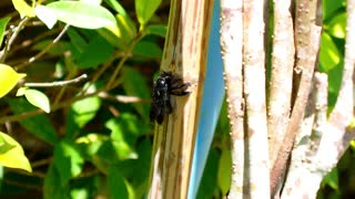 Black Bee Crunching Bamboo. Flora and Fauna of Exotic Thailand. Close up.