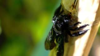 Black Carpenter Bee Eating Bamboo. Exotic Thailand. Sunny Koh Samui. Close up. Macro.
