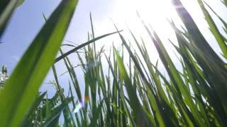 Bright Sun Shining on Green Grass in Rice Field