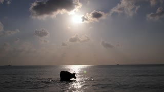 Bull Swimming in the Sea against Blue Sky
