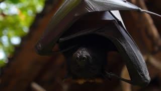 Closeup of Bat Hanging on a Tree