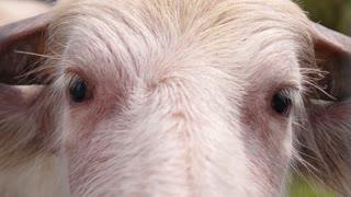 Closeup of Pink Buffalo Eyes