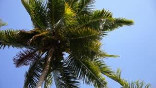 Coconut Palm Tree against Blue Sky.